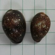 cowrie 1_2