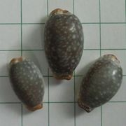 cowrie 1_3
