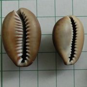 cowrie 2_4
