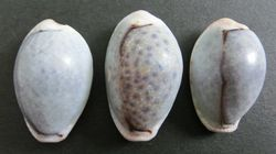 cowrie 3_6
