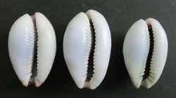 cowrie 4_4