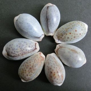 cowrie 7