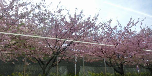 Kawazuzakura150314d
