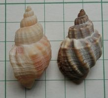 Koromogai151121a