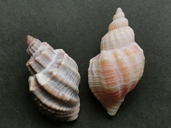Koromogai151121b