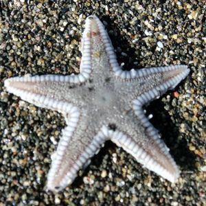 Starfish161211b