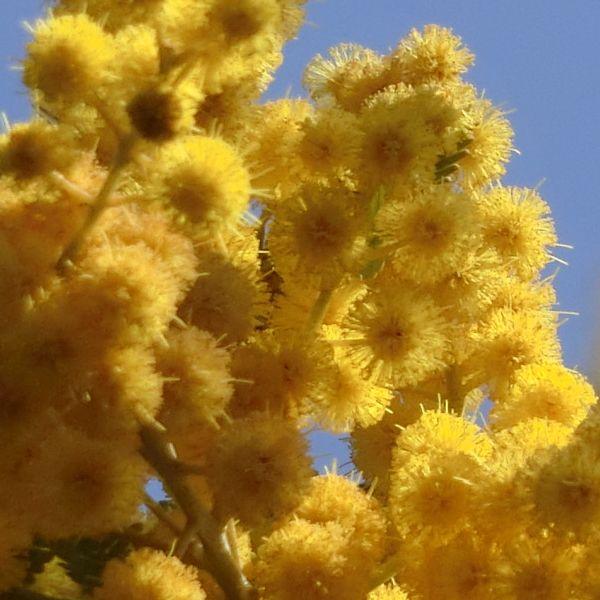 Mimosa170318a