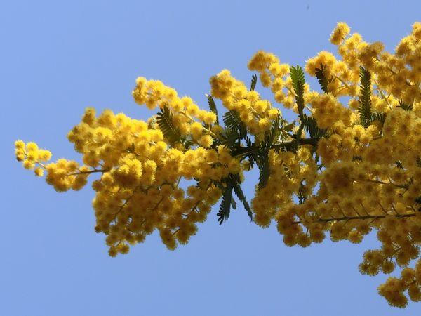 Mimosa170318b