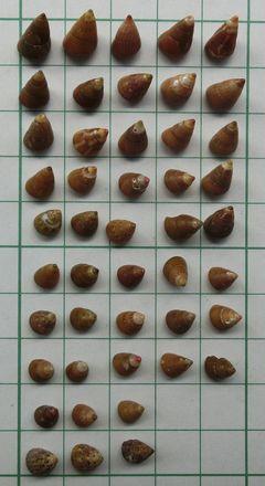 Kaidochigusa180529a