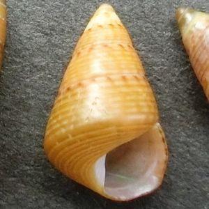 Kaidochigusa180529d2