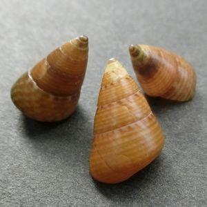 Kaidochigusa180529e