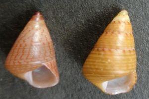 Kaidochigusa180529h