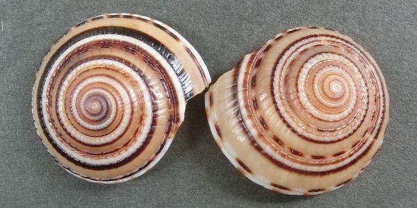 Kurosujiguruma180907b