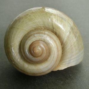 Canaliculata200624e