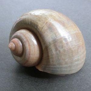 Canaliculata200624f